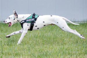 Avis d'une kinésithérapeute canine sur la liberté de mouvement dans les harnais IDC®