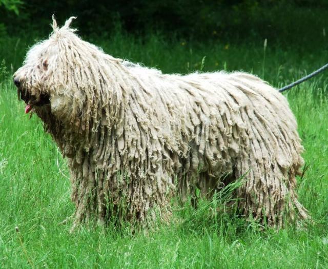 9 magyar fajta akkor és most – A komondor